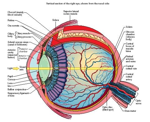 Human Eye Anatomy Physicsproject Grade1254